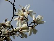 Copy of Magnolia stellata 'Jane Platt' 01